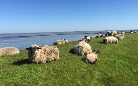 Schafe am Meer