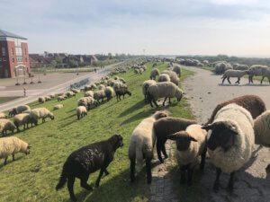 Schafe auf dem Deich in Norddeich
